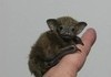 The Bumblebee Bat Is The World's Smallest Mammal