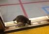 Trash Panda Rides TTC Subway